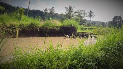 Le bonheur est dans les rizières